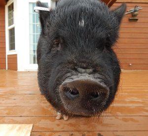 pig hog photo