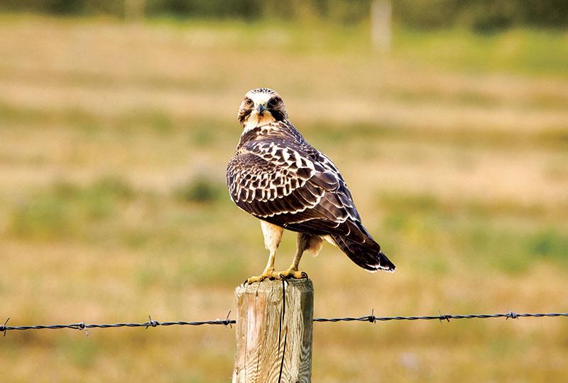 farm predators hawk