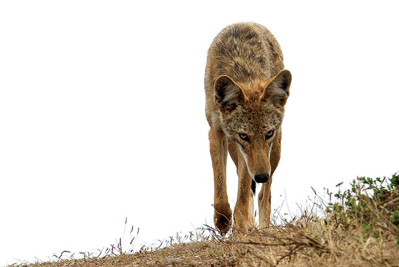 farm predators coyote coyotes