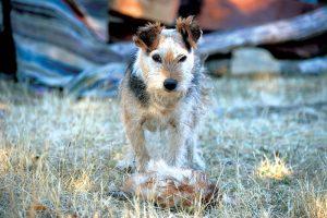 farm predators dog dogs