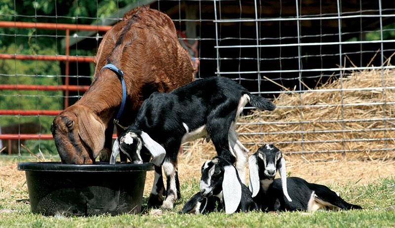goats feeding nutrition