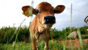 bucket train training calf calves