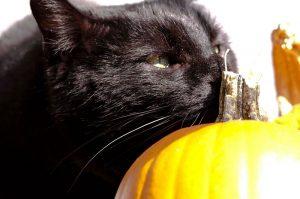 memory garden cat pumpkin