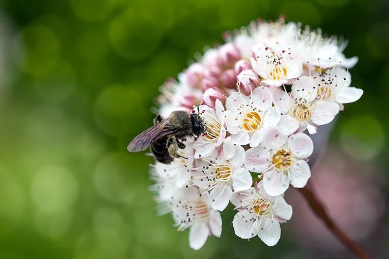 memory garden ninebark bee