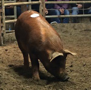 livestock auction pig
