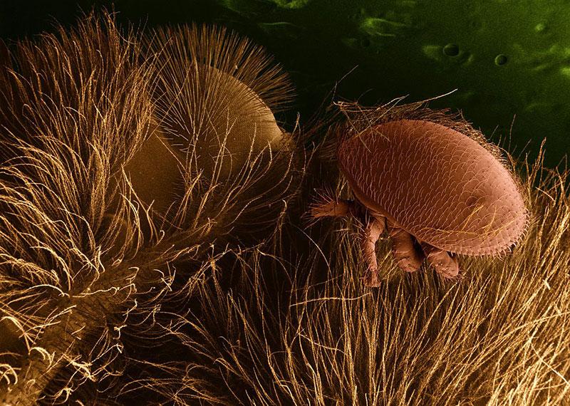 varroa mites mite