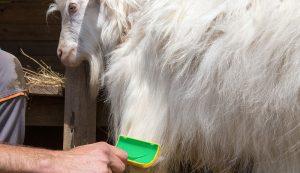goats brush brushing