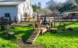 goats climbing structures enrichment