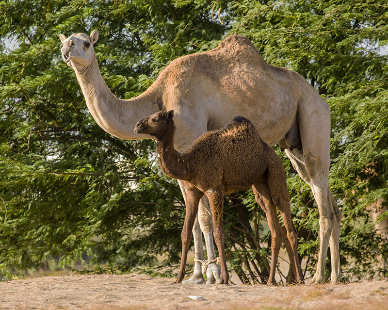 camels camel baby offspring