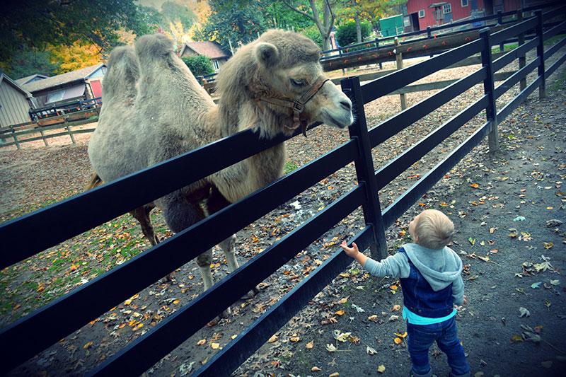 camels camel child