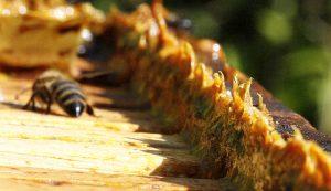 propolis bees