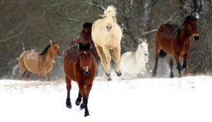 BLM horses burros adoption wild horse