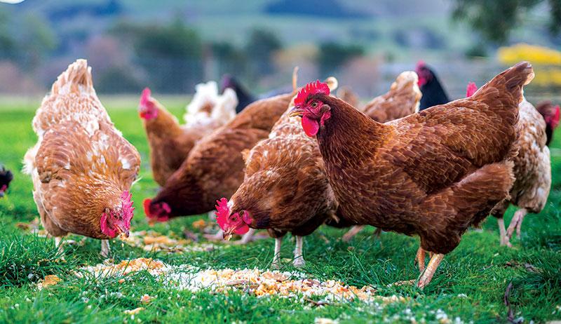 chicken health
