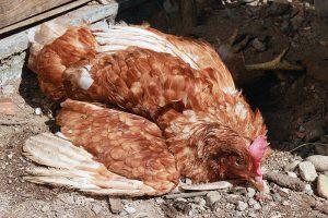 chicken health newcastle disease