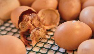 chick chicks hatching eggs broody hen
