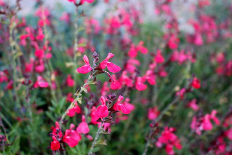 coral-pink sage