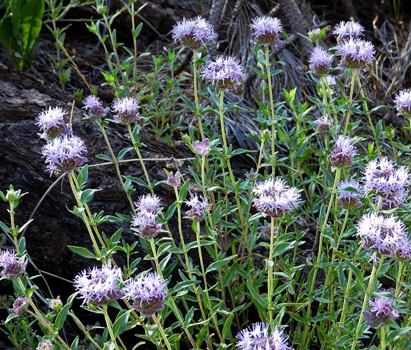Arizona Beauty Coyote Mint