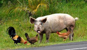 pig pigs ideal market weight