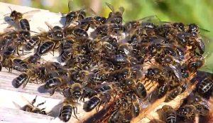 honeybees climate change