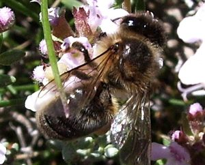 Spanish honeybee bee