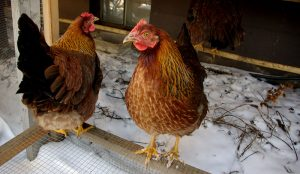 chickens winter cold treats food