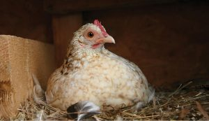 chickens pullets laying layers eggs