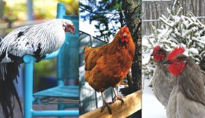 chicken photos contest