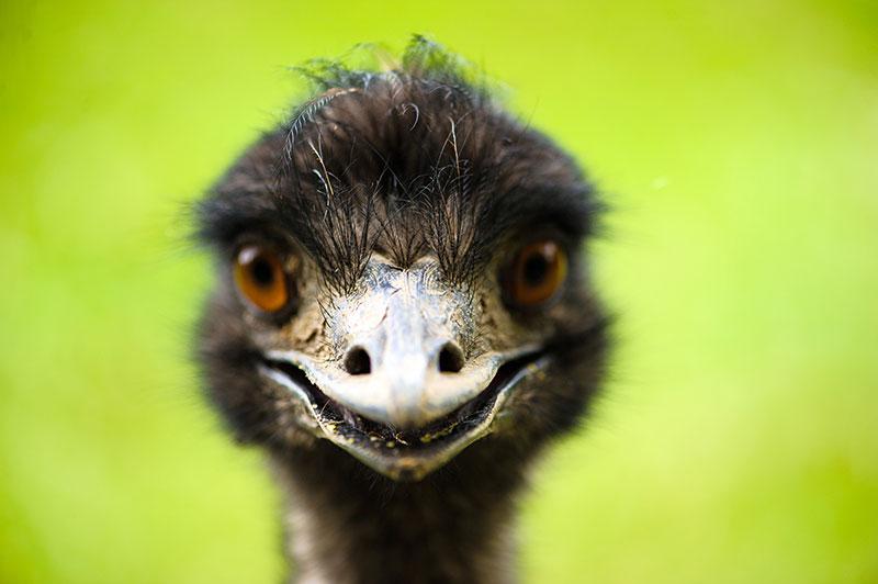 emu beak