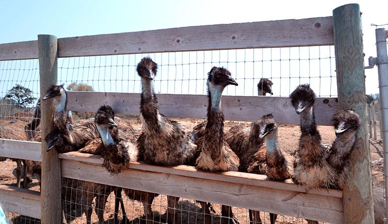 emu emus farm