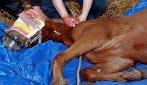horse surgery veterinarian