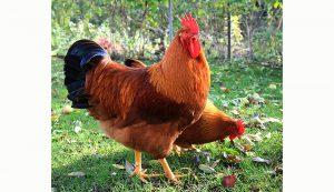 new hampshire chickens chicken breed
