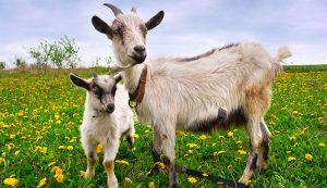goat goats kid kids breeding breed