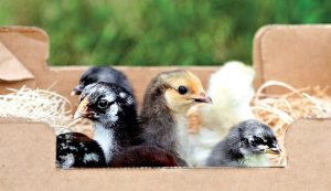chicks shipped mail chick chickens