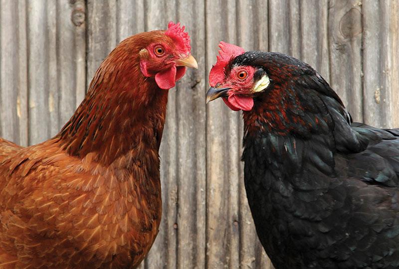 holistic health chickens