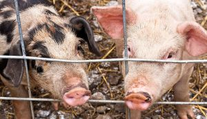 pigs hogs african swine fever