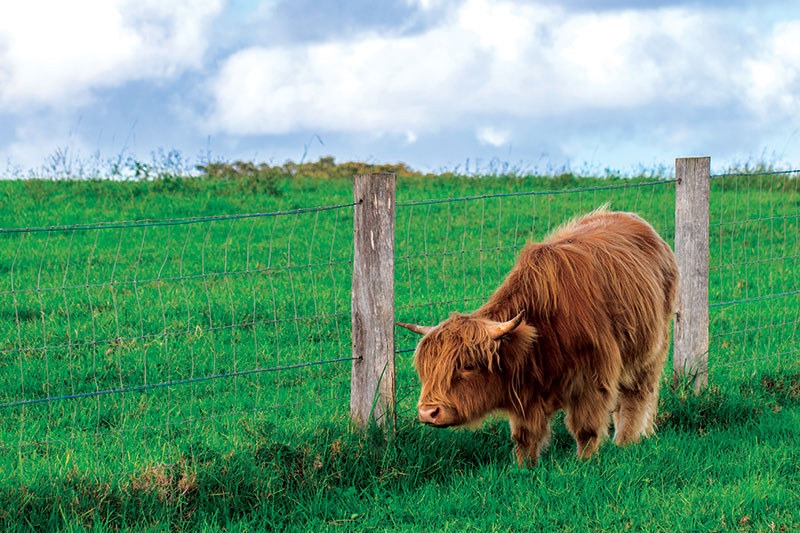 livestock fencing fences bull cow cattle