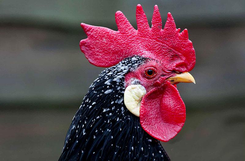 chicken names name ancona