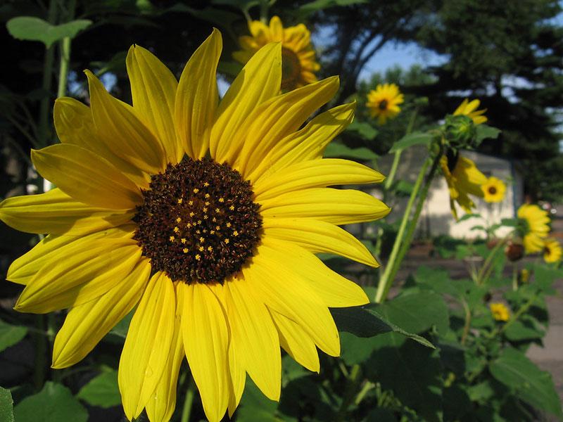 lemon queen sunflower bees pollinators