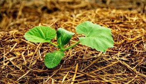 pumpkin sprout garden mulch mulches gardening
