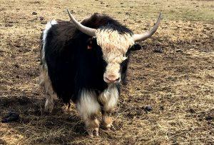 unusual livestock yak yaks