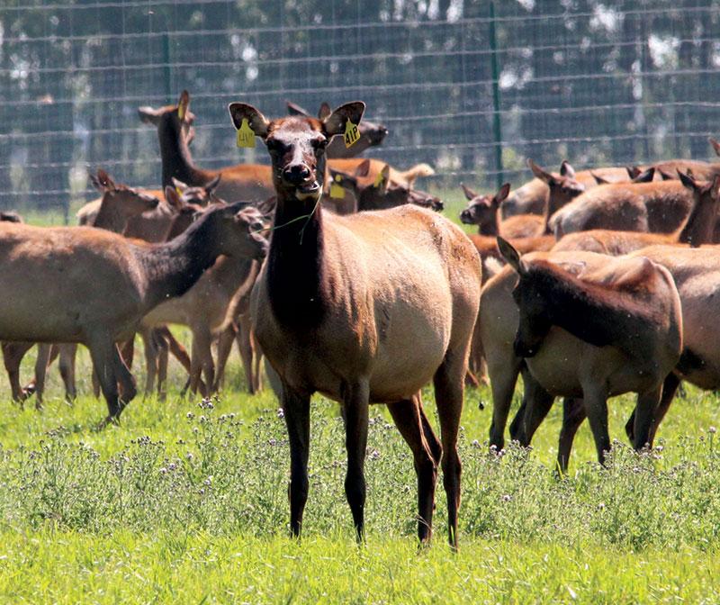 unusual livestock elk