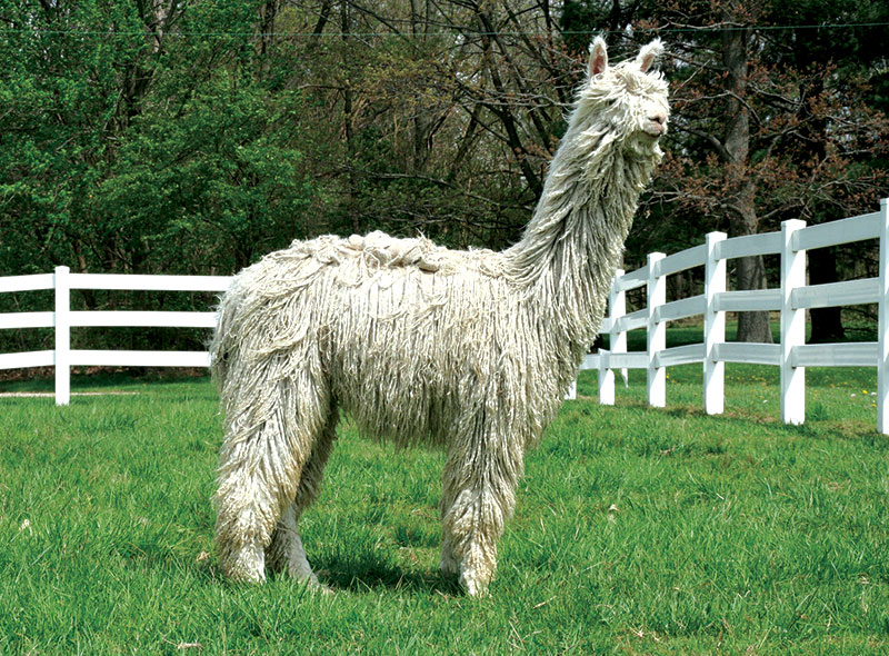 unusual livestock alpaca alpacas