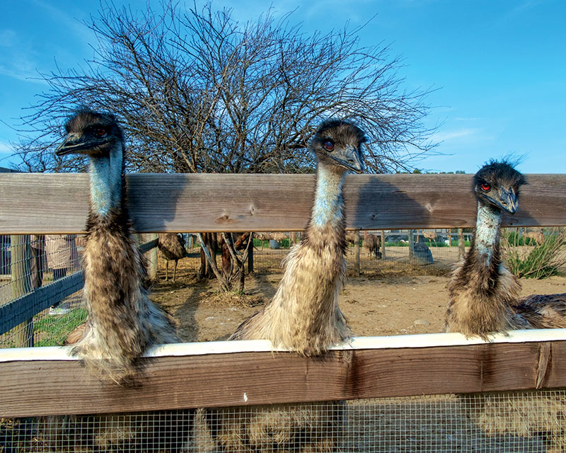 unusual livestock emu emus