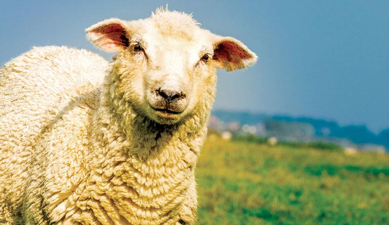 fiber sheep wool
