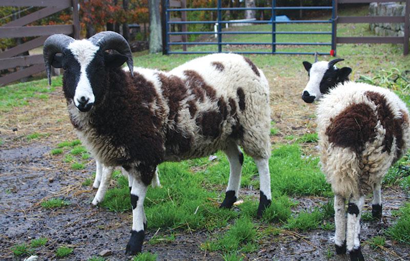 fiber jacob sheep wool