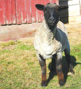 fiber romney sheep wool