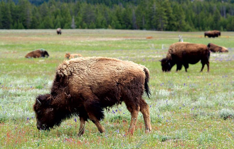 fiber bison