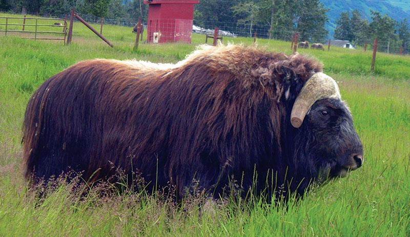 fiber musk ox