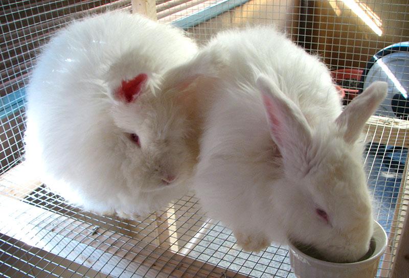 fiber angora rabbits
