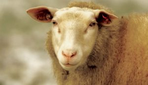 dairy sheep ewes ewe